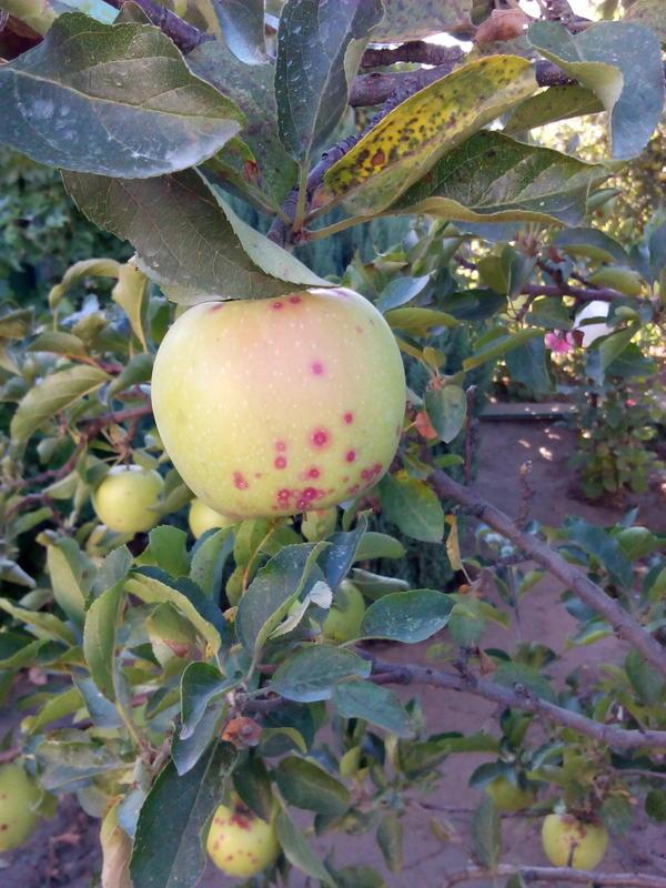 Плод яблока вкрапинку,как будто прокусило какоето насекомое