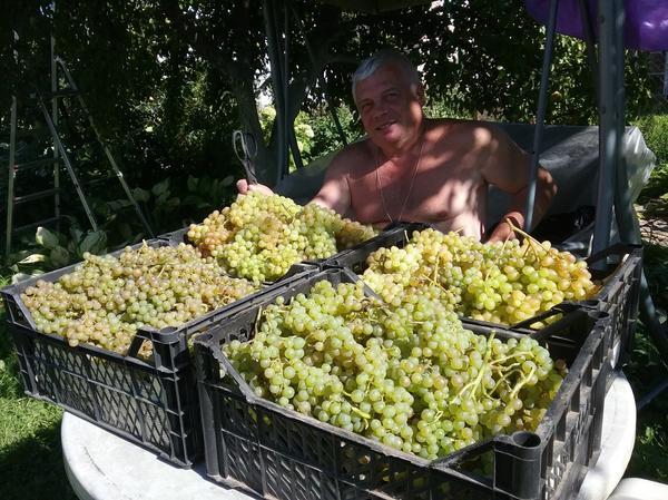 Урожай винограда сорта Кишмиш