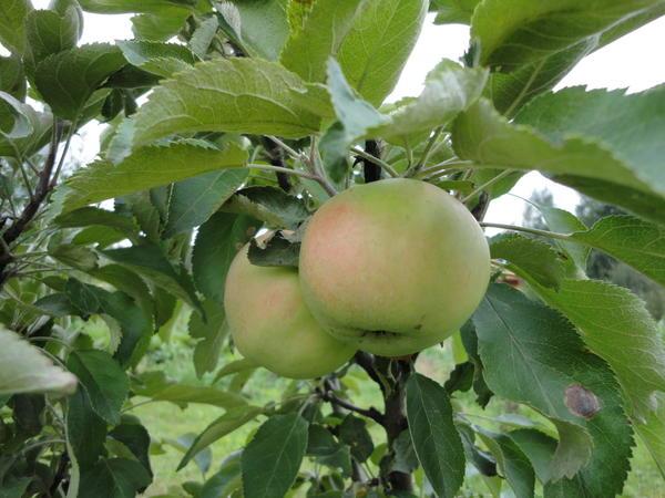 Наш первый урожай колоновидной яблони. Лето 2016 г. Екатеринбург.