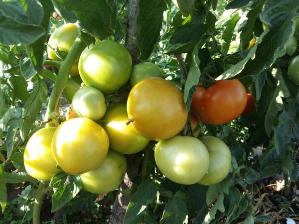 Очень урожайный сорт,плоды так плотно облепляют ствол,что боишься убрать плод чтобы не повредить соседний. И не нужно сажать 100 корней помидоров,а достаточно посадить всего 20 помидоров Малиновое чудо и при этом собрать тот же самый урожай. Чувствуете выгоду?