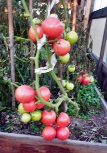 самый урожайный куст