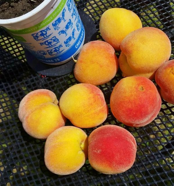 Урожай персика сорта Ветеран.