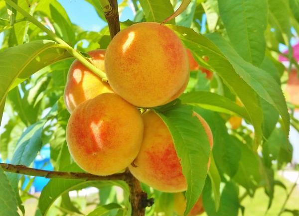 Персики сорта Ветеран.