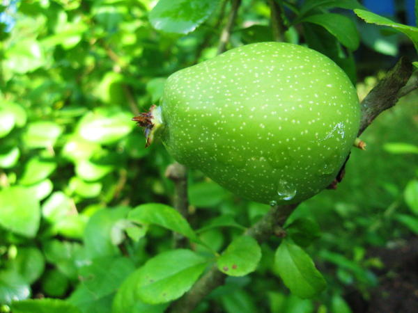 плод айвы японской