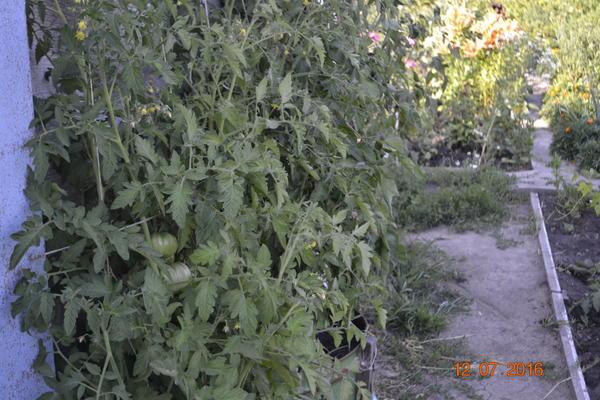 Вот фото помидоров куда не попадали дожди.