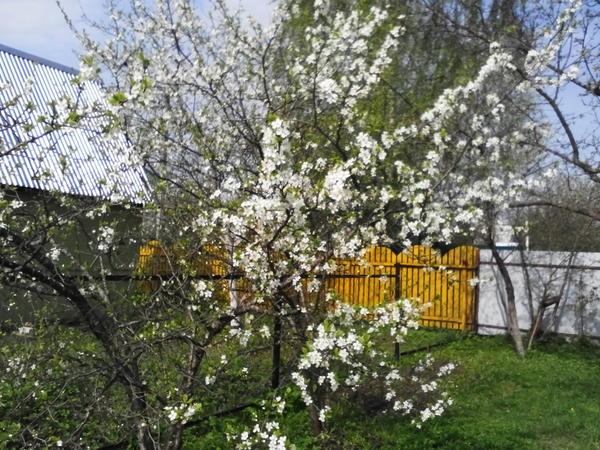 Весна,цветет слива.