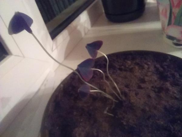 Не знаю что за растение, обарвала росток в подъезде), в дневные часы распускается, в ночные, как тут сжимается