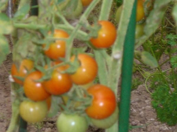 томатики