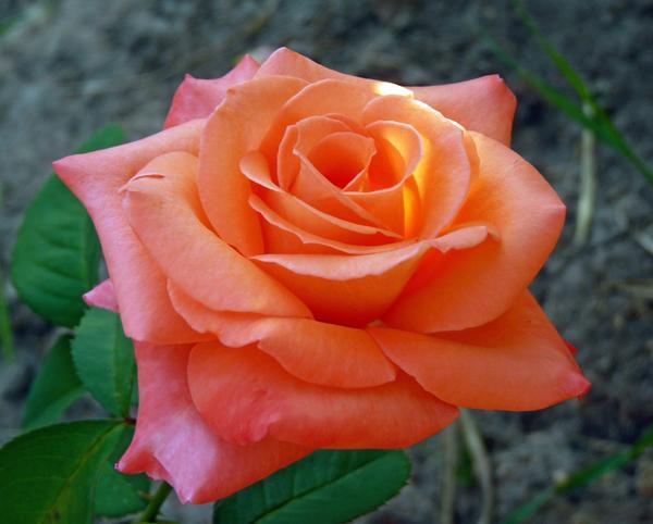Роза чайно-гибридная СУлтан