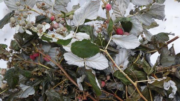 Ягоды на снегу. Малина. Весь урожай ушел в зиму.
