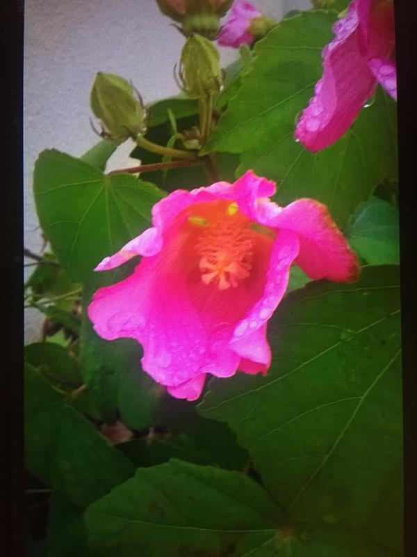 Помогите узнать название растения!?