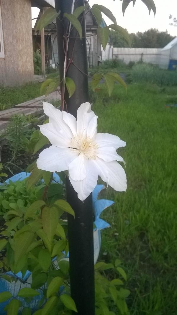 Клематис. Один цветочек, но за сезон цвел два раза
