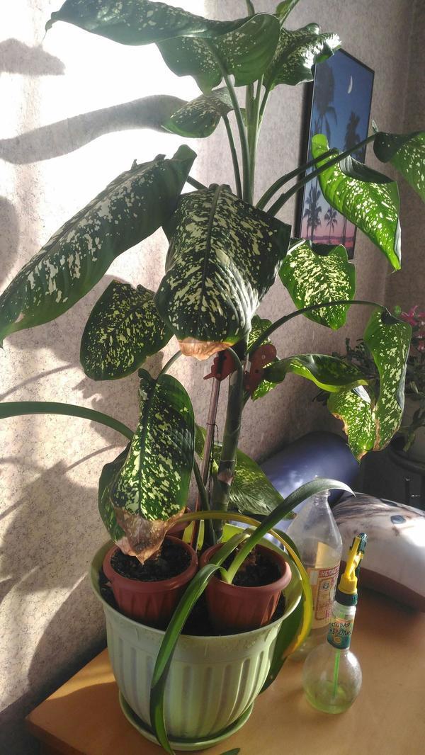 4. У бошьшого листья сохнут, у цветов в маленьких горшках желтеют и падают(