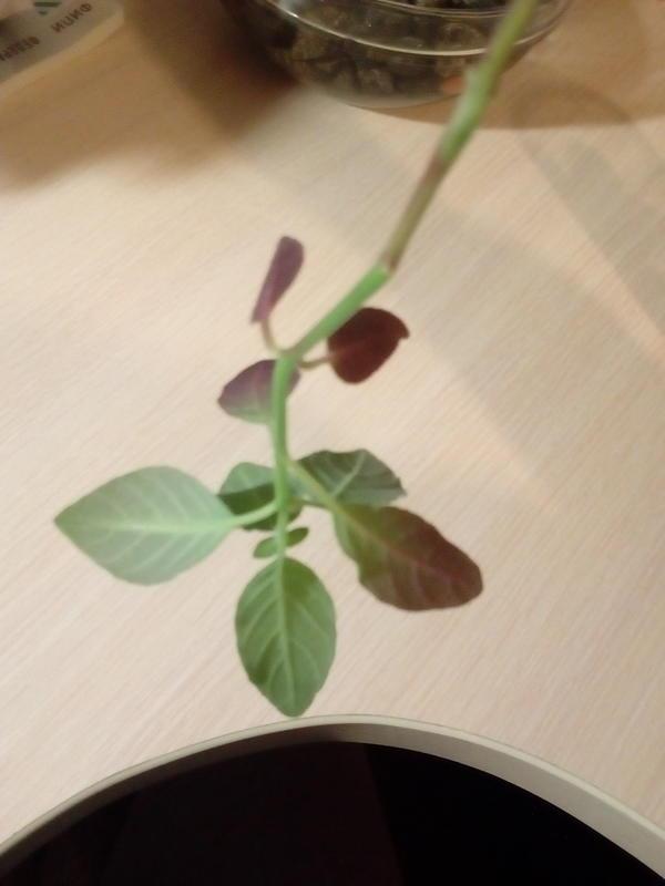 А молодые листочки у него фиолетовые, причём именно те, которые рачтут не вверх, а к низу ствола.