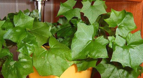 Похож на плющ,но листья и стебли мягкие