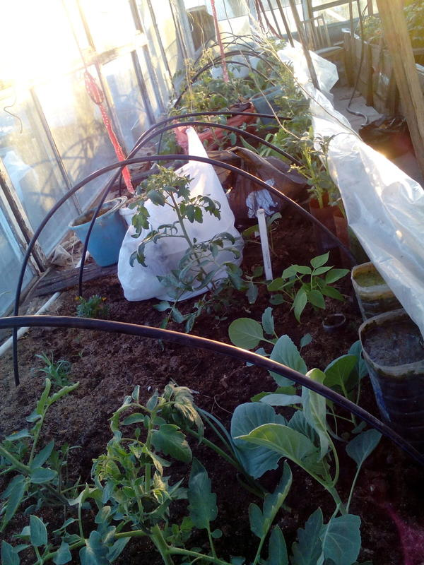 6 мая в теплице, справа (около плёнки) рассада картошки в воронках от бутылок, первый раз сажала, результатом довольна.