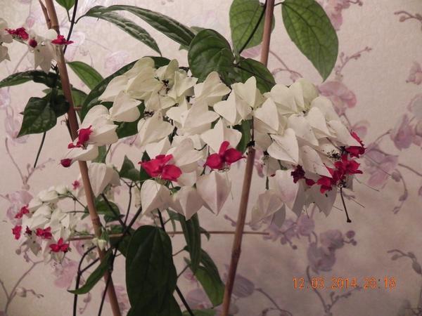 название цветка, пожалуйста...