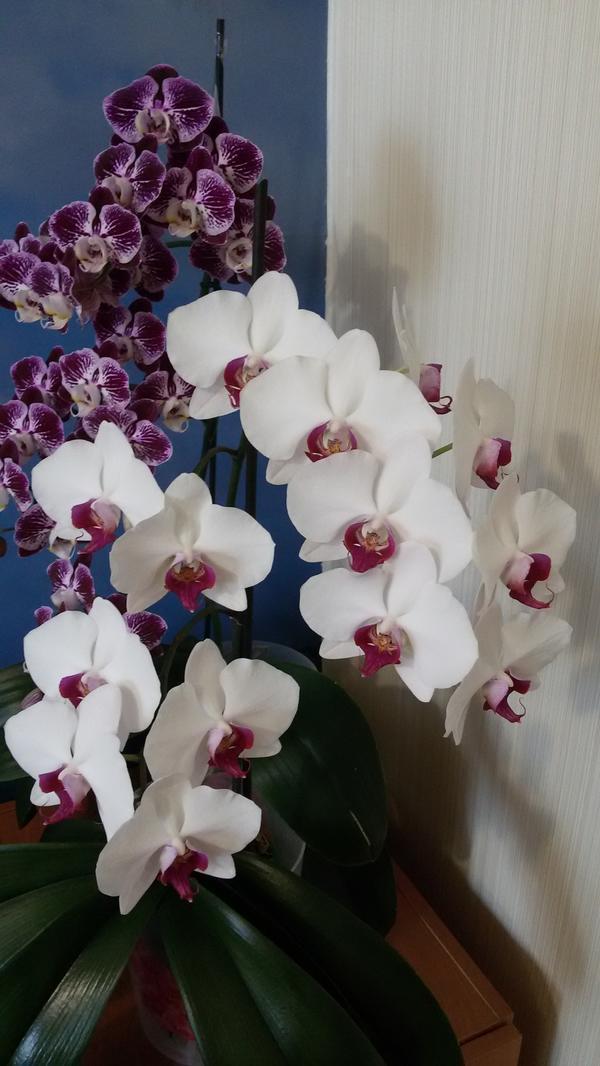 вот несколько орхидей,которые у меня не переставая цветут. Абсолютно одинаковый уход и те же условия произрастания. В чем моя ошибка? Спасибо заранее.