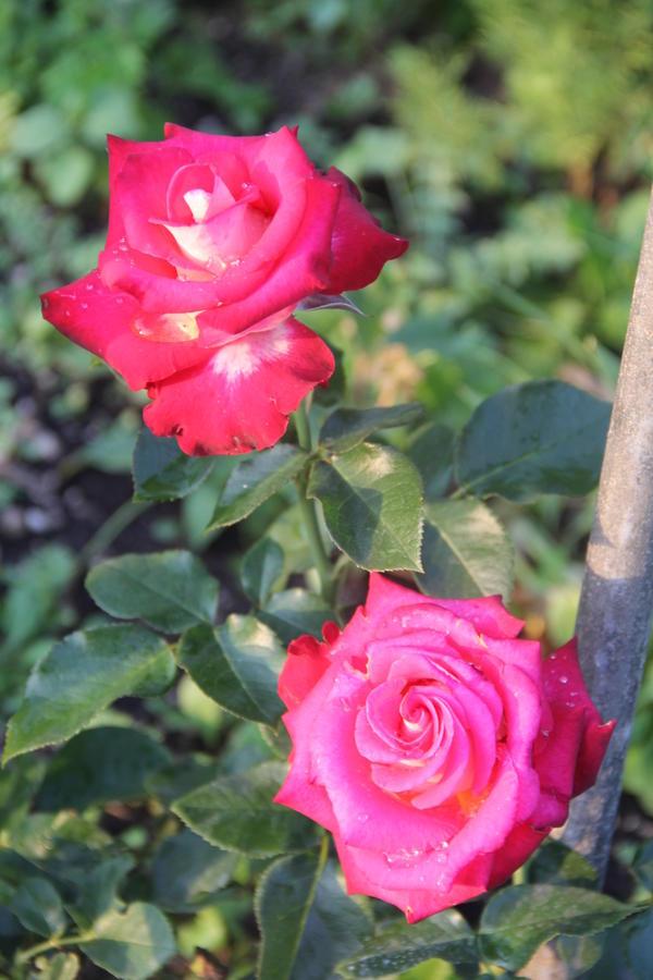 """Весной купила розу плетистую """"flammentanz"""" в тубе от питомника Кутепово. Давно хотела купить именно этот сорт.  Когда роза расцвела, то заметила что серединка не прокрашена. С чем это связано? Может быть пересортица? Если не считать этого """"недостатка"""", кустик мне очень понравился. (Сильная корневая система - почти с 10л ведро корней, сложенных в тубе, чего не ожидала. В отличие от польских кустов, кустик ничем не болел и цвел все лето, был хороший прирост).  Почему непрокрашенная серединка? Это пересортица или неправильный уход?"""