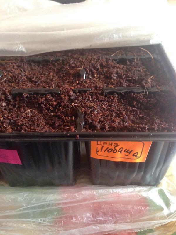 Чтобы семена моей Любаши хорошо себя чувствовали я обязательно каждый день приоткрываю плошку с посевами