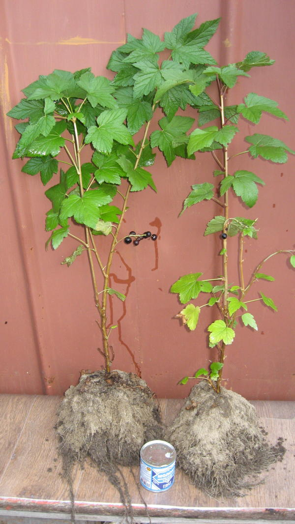 2 октября 12г созрела ягода  на 4месячном черенке смородины