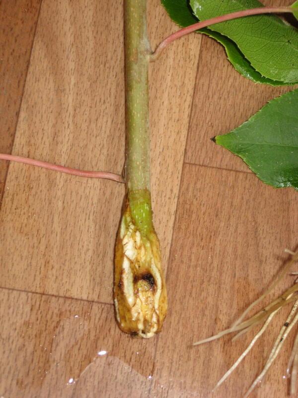 Нижняя часть черенка была обработана корневином. Посмотрите, что сделал корневин с черенком актинидии за 10 дней.