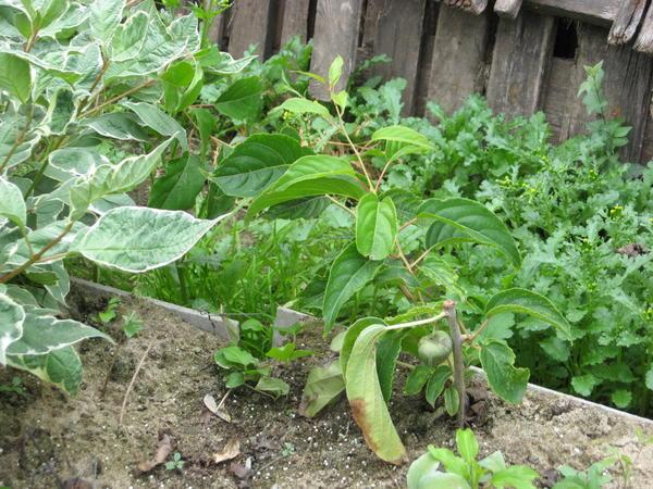 За 3 месяца черенок актинидии дал корни и созрела ягода.