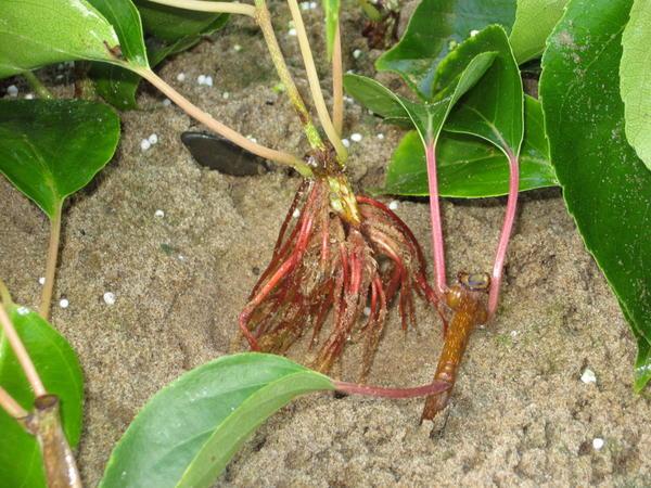 После обработки корневином, корни растут так густо, что вынули черенок актинидии из земли.
