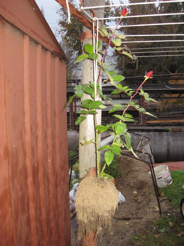 4месячный саженец розы.