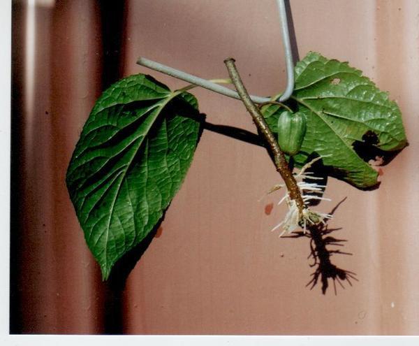Черенки актинидии с ягодой на 14 день окоренения.