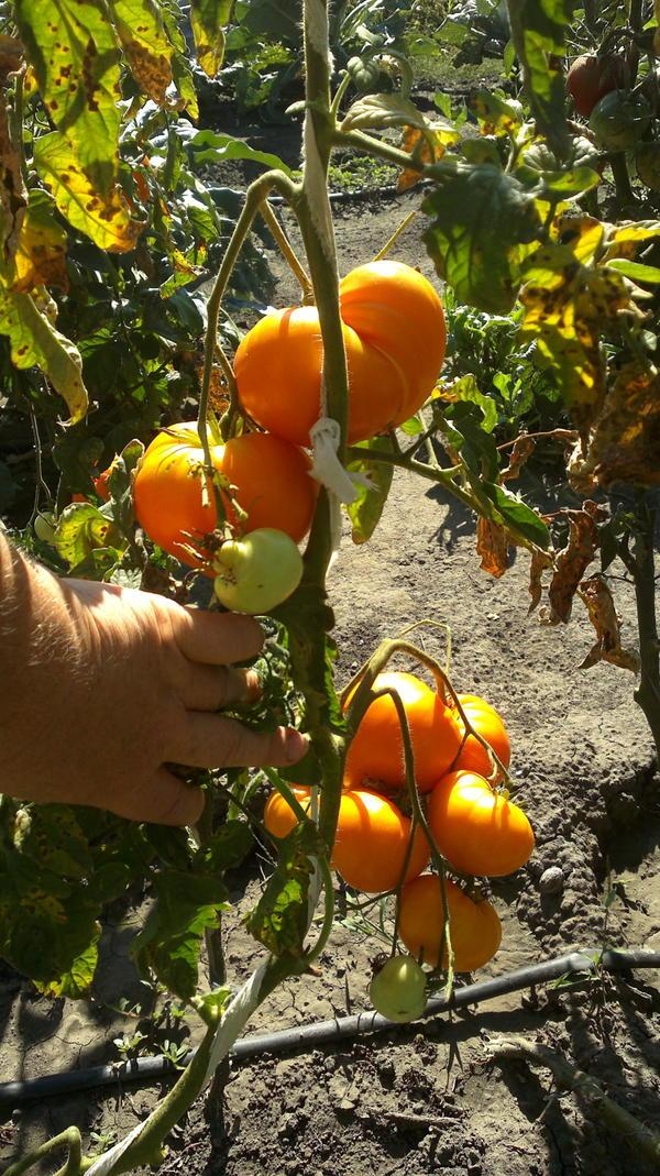 Амана оранжевая.