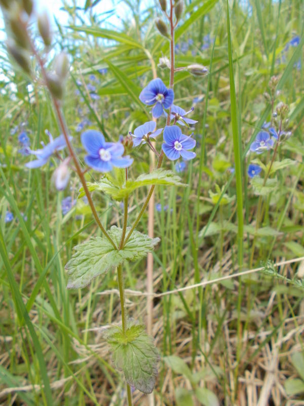 маленькие синие цветы