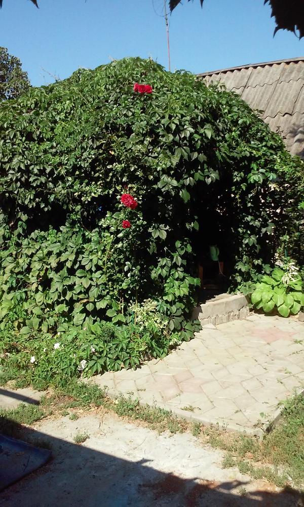 В прошлом году она уже выглядела вот так. Имя три окна и вход. Перед входом с двух сторон плетистые розы, на момент фотографирования они уже отцветали.