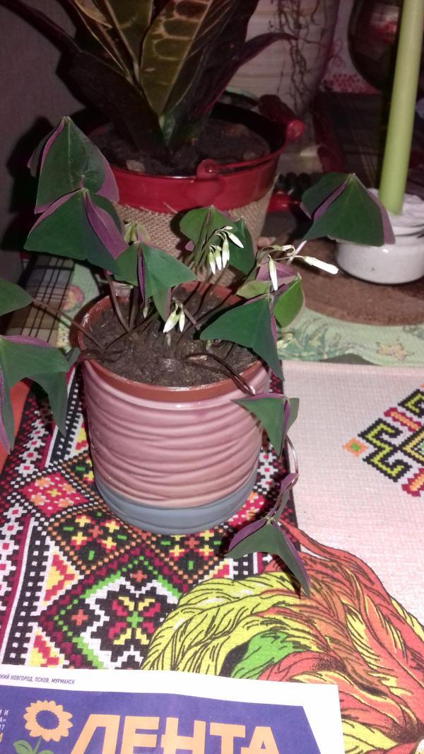 """На ночь листики """"складываются"""" в пирамидку. Окраска листьев снизу в бардовый цвет становится более выраженной."""
