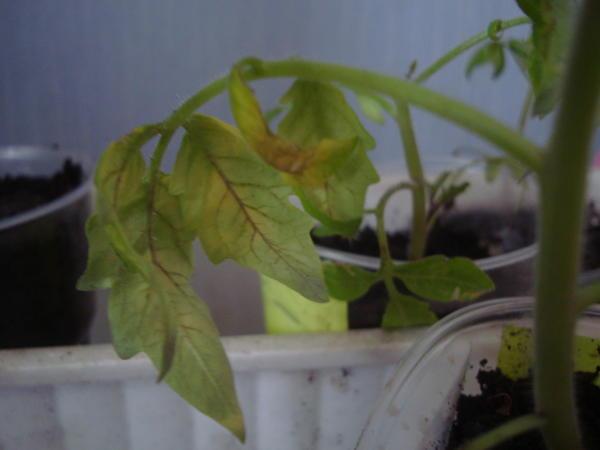 Спрут сливка - листья