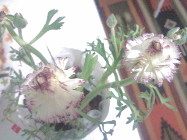 Как мне кажется, похож на мак. Купила не давно, сложное название... У меня цветок умирает, очень нужно название чтобы узнать как за ним ухаживать.