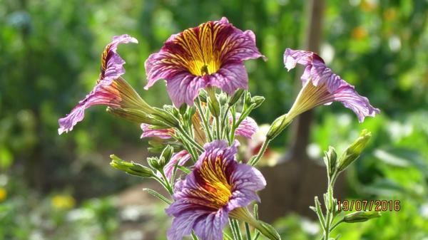 Цветы сальпиглоссис.