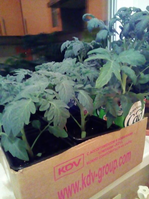 Вот такие маленькие, уже зацветают, хотя это высокорослые томаты.