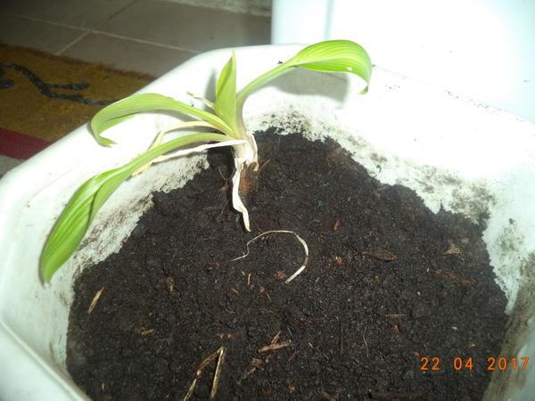 Одно корневище посадила в горшок