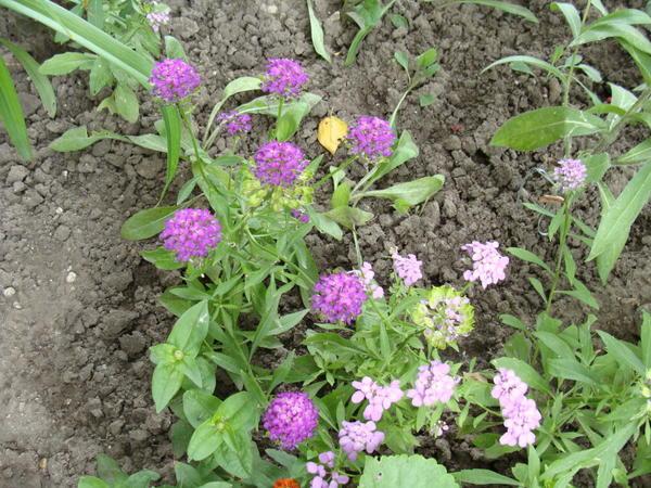 Так созревают семена на соцветии в центре (в начальной стадии - зеленоватые)