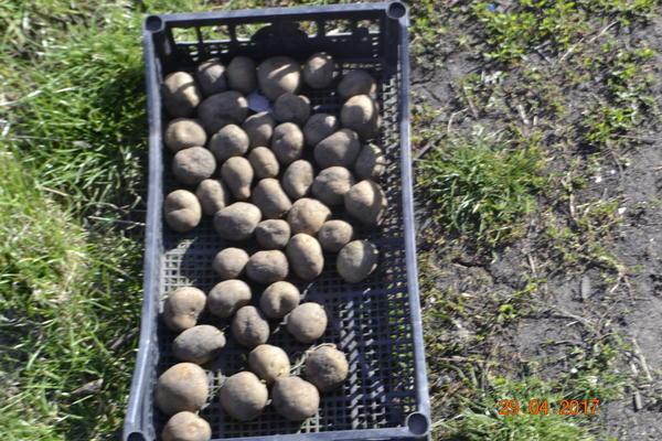 А этот картофель перебрал среди проросших,почему-то они не проросли, поэтому их забраковал