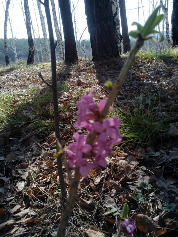 Это 2 мая, в лесу на холме среди сосен и берёз.