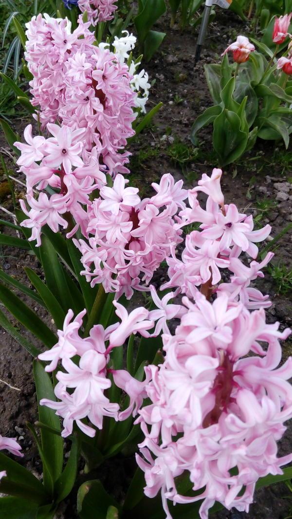 Особенно хорошо пахнут розовые гиацинты