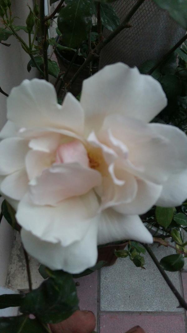 Серединку просто лепесток прикрыл,а так цветок раскрытый,ну прям шиповник вылитый