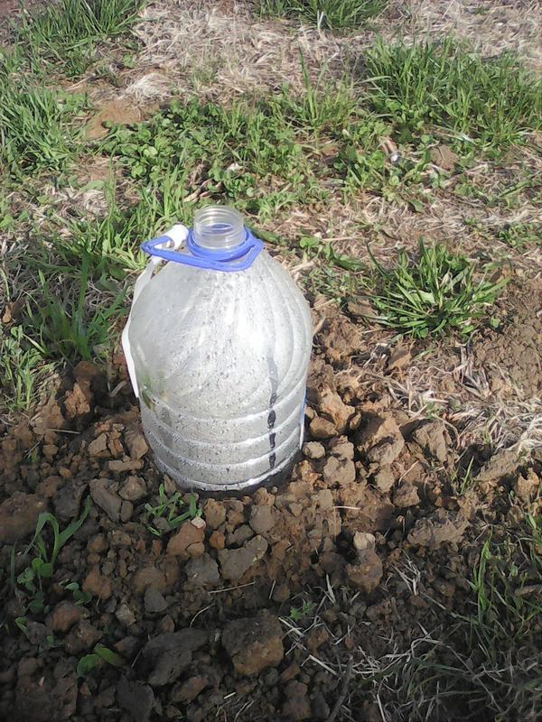 Гортензия закрыта бутылкой от ветра и похолоданий. На Урале погода не предсказуемая