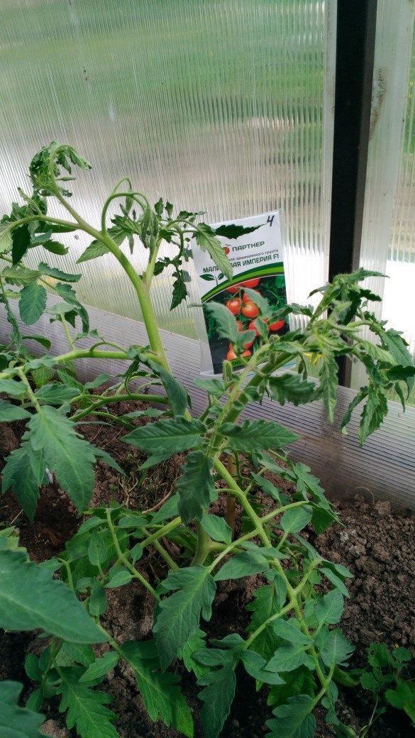 Это Малиновая империя,хорошо видно два ствола.Есть ещё растение,посаженное позже,так на нем уже помидорчик завязался.А ещё один в бочку посадила,посмотрим что получится.