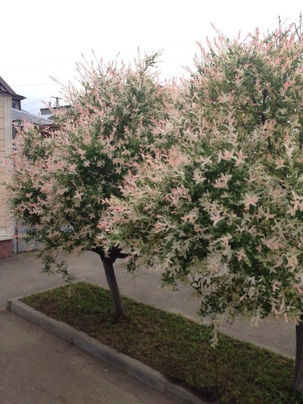 Помогите пожалуйста,что это за деревья? И как оно называется?