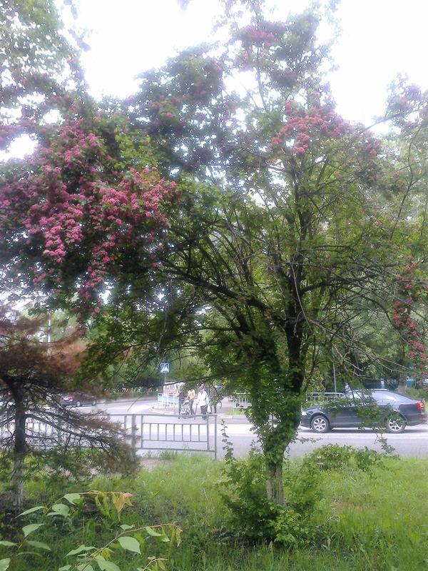 То же самое дерево растёт в городе Невинномысске.