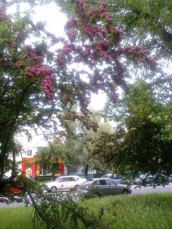 Как называется это декоративное дерево, которое цветёт в мае бордовыми цветами?