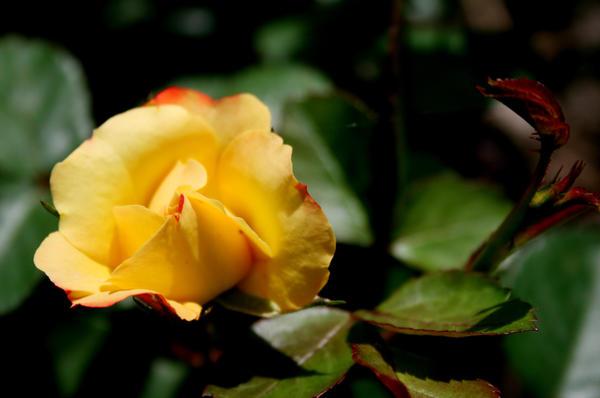 Желтый цвет - не цвет разлуки. Желтый цвет - солнца капля в саду.